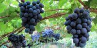 Die Vernatschtrauben warten auf die Weinlese
